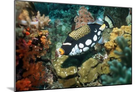 Clown Triggerfish-Georgette Douwma-Mounted Photographic Print
