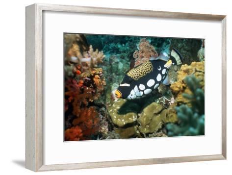 Clown Triggerfish-Georgette Douwma-Framed Art Print