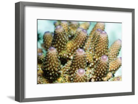Acropora Plate Coral Polyps-Georgette Douwma-Framed Art Print