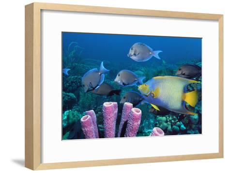 Queen Angelfish And Blue Tangs-Georgette Douwma-Framed Art Print
