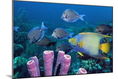 Queen Angelfish And Blue Tangs-Georgette Douwma-Mounted Photographic Print