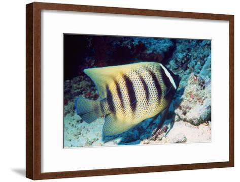 Six-banded Angelfish-Georgette Douwma-Framed Art Print