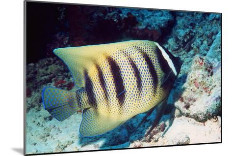 Six-banded Angelfish-Georgette Douwma-Mounted Photographic Print