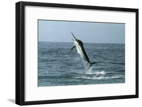 Black Marlin-Georgette Douwma-Framed Art Print