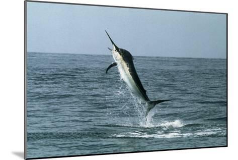 Black Marlin-Georgette Douwma-Mounted Photographic Print