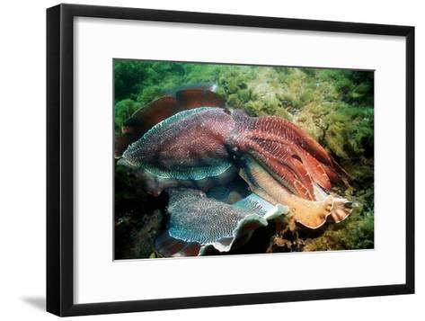 Giant Cuttlefish Males Fighting-Georgette Douwma-Framed Art Print