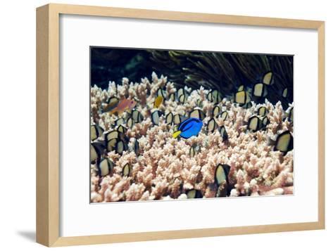Palette Surgeonfish Over Coral-Georgette Douwma-Framed Art Print