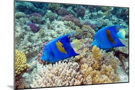 Yellowbar Angelfish-Georgette Douwma-Mounted Photographic Print