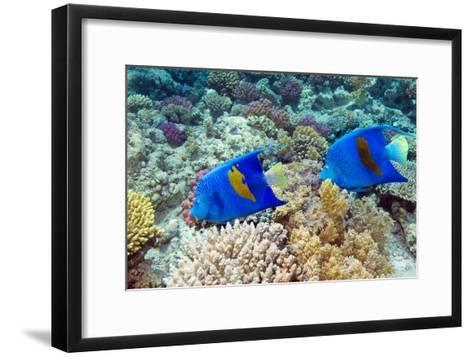 Yellowbar Angelfish-Georgette Douwma-Framed Art Print