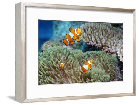 False Clown Anemonefish-Georgette Douwma-Framed Art Print