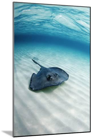 Southern Stingray-Georgette Douwma-Mounted Photographic Print