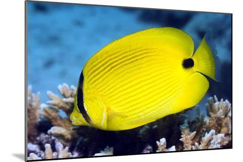 Yellow Butterflyfish-Georgette Douwma-Mounted Photographic Print