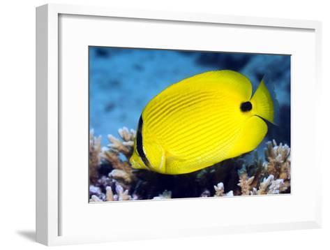 Yellow Butterflyfish-Georgette Douwma-Framed Art Print