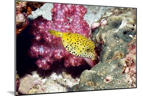 Yellow Boxfish-Georgette Douwma-Mounted Photographic Print