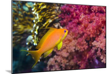 Female Lyretail Anthias-Georgette Douwma-Mounted Photographic Print