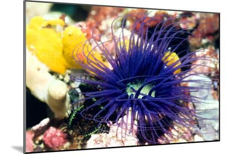 Tube Anemone-Georgette Douwma-Mounted Photographic Print