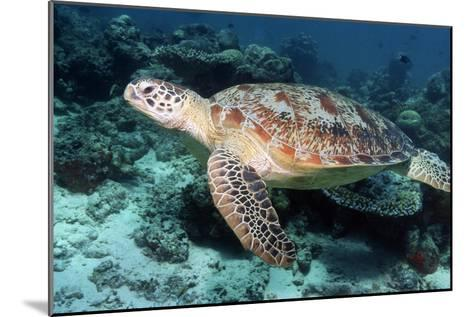 Green Turtle-Georgette Douwma-Mounted Photographic Print