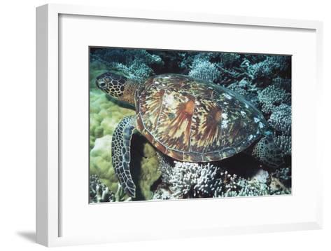 Green Sea Turtle-Georgette Douwma-Framed Art Print