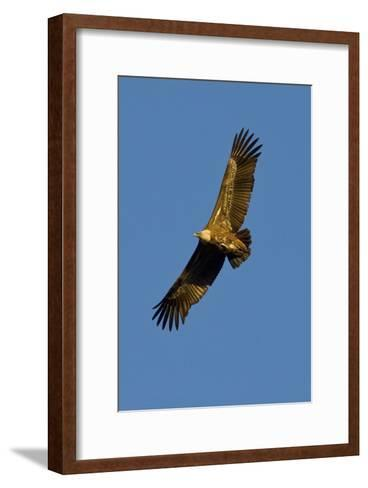 Griffon Vulture In Flight-Bob Gibbons-Framed Art Print