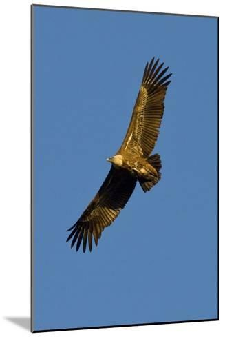 Griffon Vulture In Flight-Bob Gibbons-Mounted Photographic Print