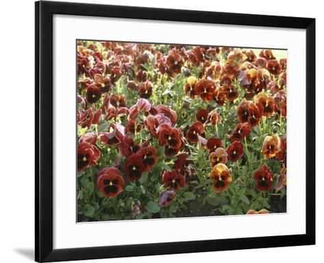 Pansies (Viola Sp,)-Vaughan Fleming-Framed Art Print
