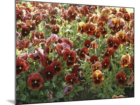 Pansies (Viola Sp,)-Vaughan Fleming-Mounted Photographic Print