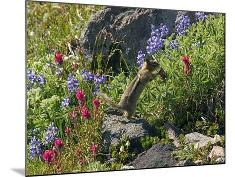 Golden-mantled Ground Squirrel Feeding-Bob Gibbons-Mounted Photographic Print