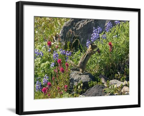 Golden-mantled Ground Squirrel Feeding-Bob Gibbons-Framed Art Print