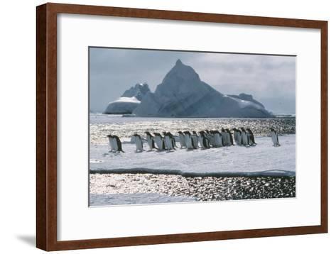 Gentoo Penguins-Doug Allan-Framed Art Print