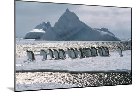 Gentoo Penguins-Doug Allan-Mounted Photographic Print