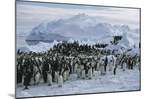 Emperor Penguins-Doug Allan-Mounted Photographic Print
