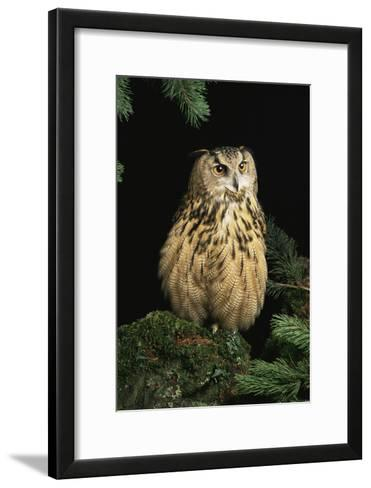 European Eagle Owl-David Aubrey-Framed Art Print