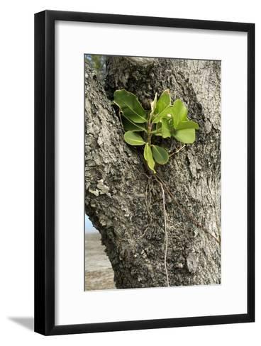 Strangler Fig (Ficus Aurea)-Bob Gibbons-Framed Art Print