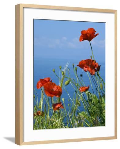 Common Poppy (Papaver Rhoeas)-Bob Gibbons-Framed Art Print