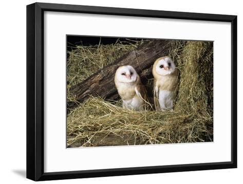 Barn Owls-David Aubrey-Framed Art Print