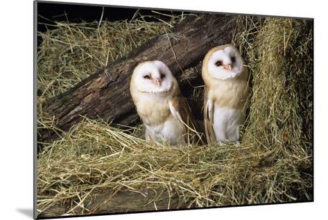 Barn Owls-David Aubrey-Mounted Photographic Print