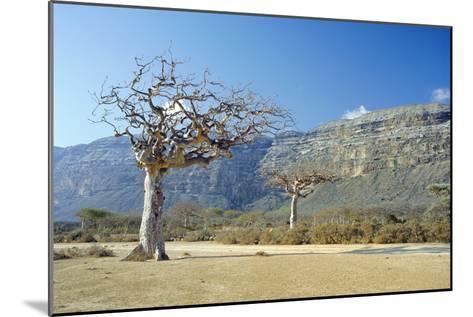 Myrrh Tree-Diccon Alexander-Mounted Photographic Print