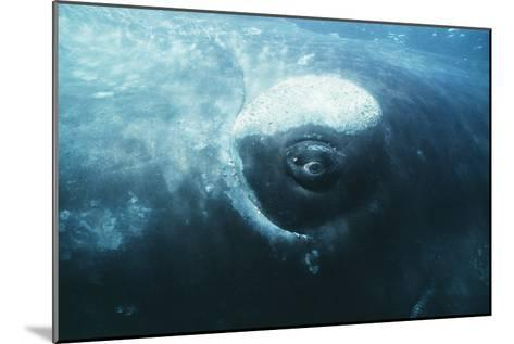 Southern Right Whale's Eye-Doug Allan-Mounted Photographic Print