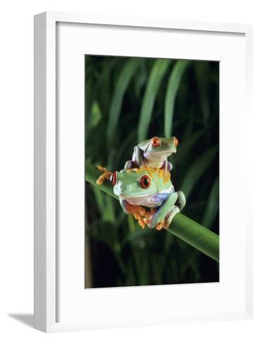 Red-eyed Tree Frogs-David Aubrey-Framed Art Print