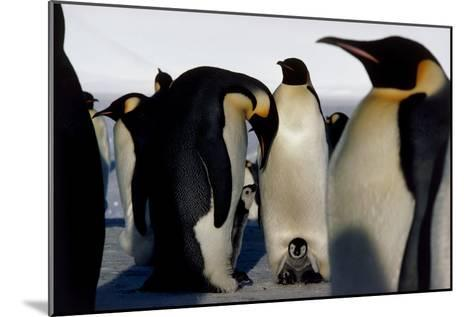 Emperor Penguins Sheltering Chicks-Doug Allan-Mounted Photographic Print
