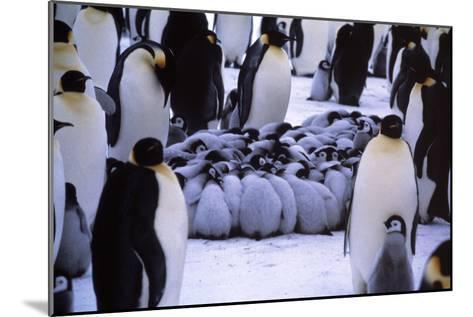 Emperor Penguin Chicks Huddling-Doug Allan-Mounted Photographic Print