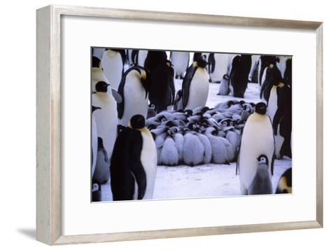 Emperor Penguin Chicks Huddling-Doug Allan-Framed Art Print