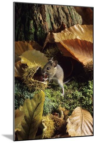 Woodmouse Eating a Chestnut-David Aubrey-Mounted Photographic Print