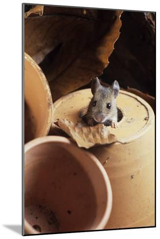 Woodmouse Peeering Out of a Flowerpot-David Aubrey-Mounted Photographic Print