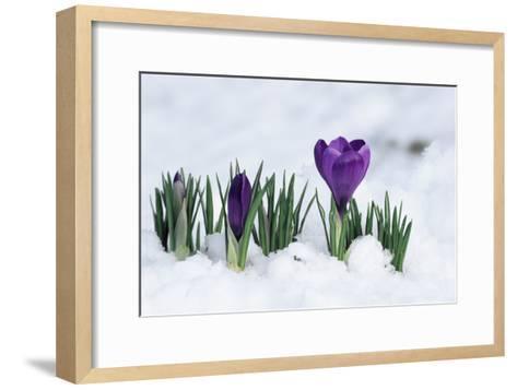 Crocus Flower In the Snow-David Aubrey-Framed Art Print