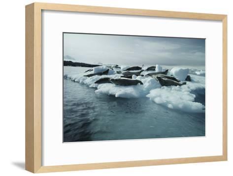 Crabeater Seals-Doug Allan-Framed Art Print