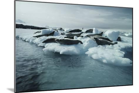 Crabeater Seals-Doug Allan-Mounted Photographic Print