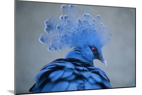 Victoria Crowned Pigeon-David Aubrey-Mounted Photographic Print
