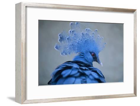 Victoria Crowned Pigeon-David Aubrey-Framed Art Print