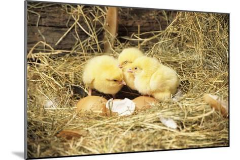 Chicks-David Aubrey-Mounted Photographic Print